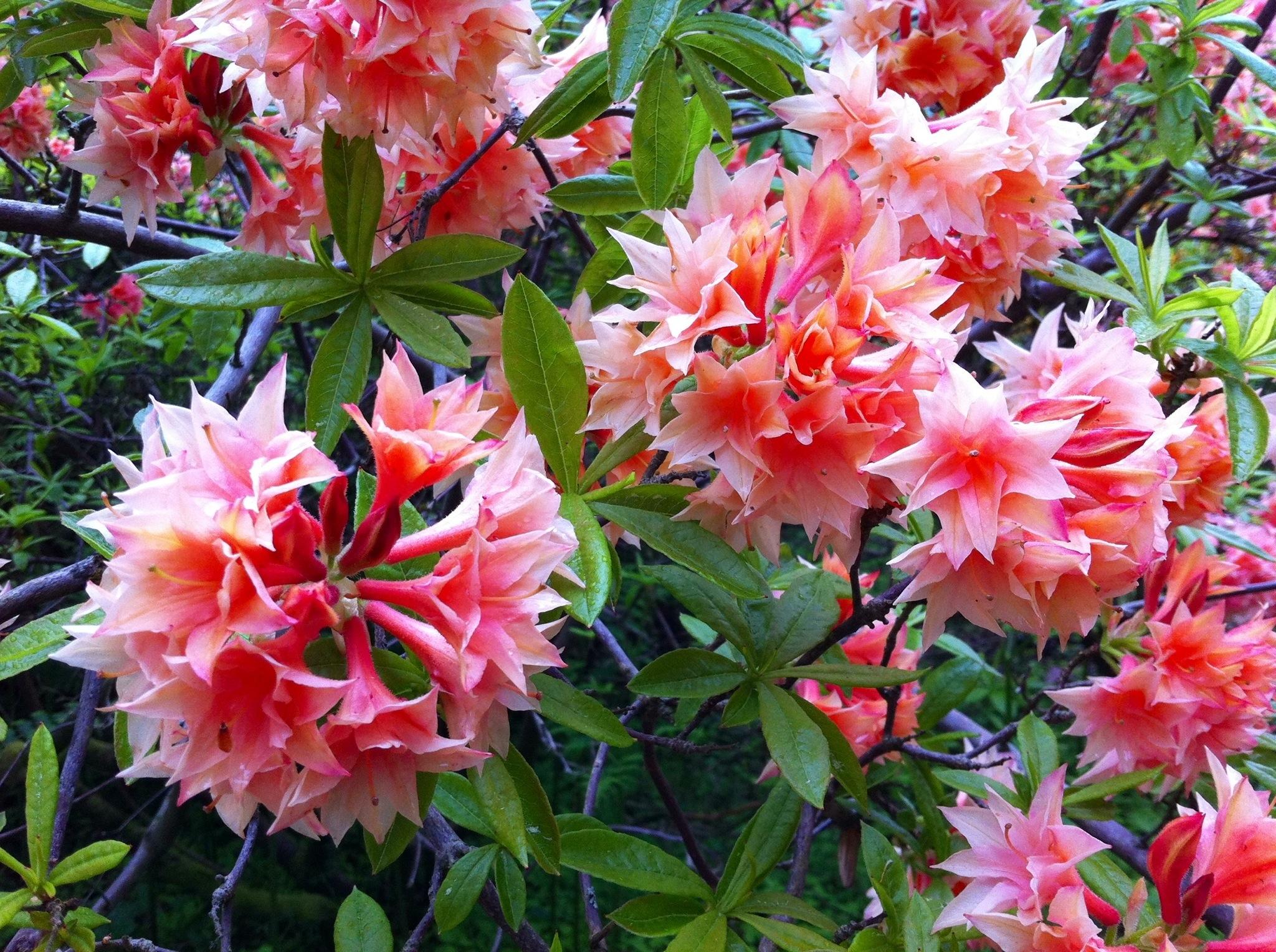 Daily flower candy deciduous azaleas the frustrated for The azalea