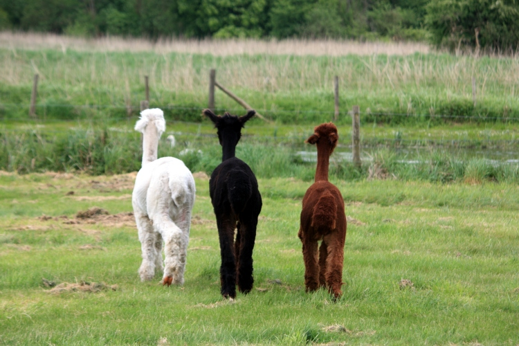 Alpacas Tom, Dick and Harry at Houghton Lodge, Hampshire