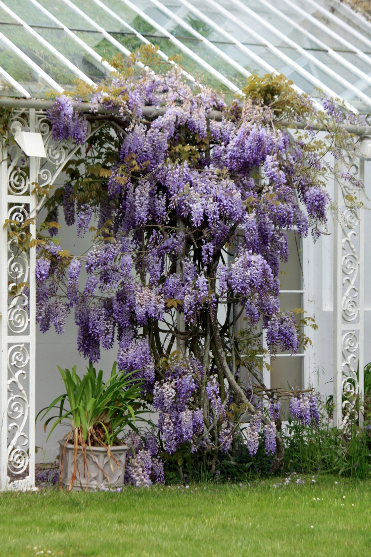 Wisteria, Houghton Lodge, Hampshire