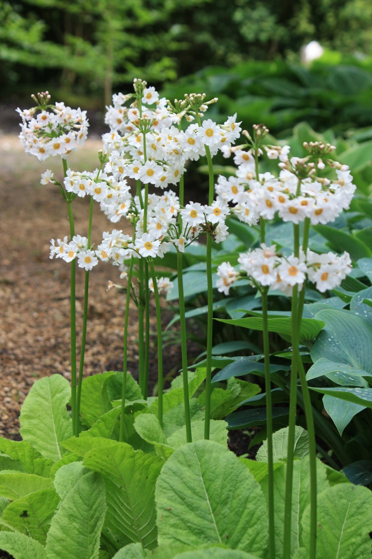 Primula japonica 'Postford White', Longstock Park Water Gardens, May 2013
