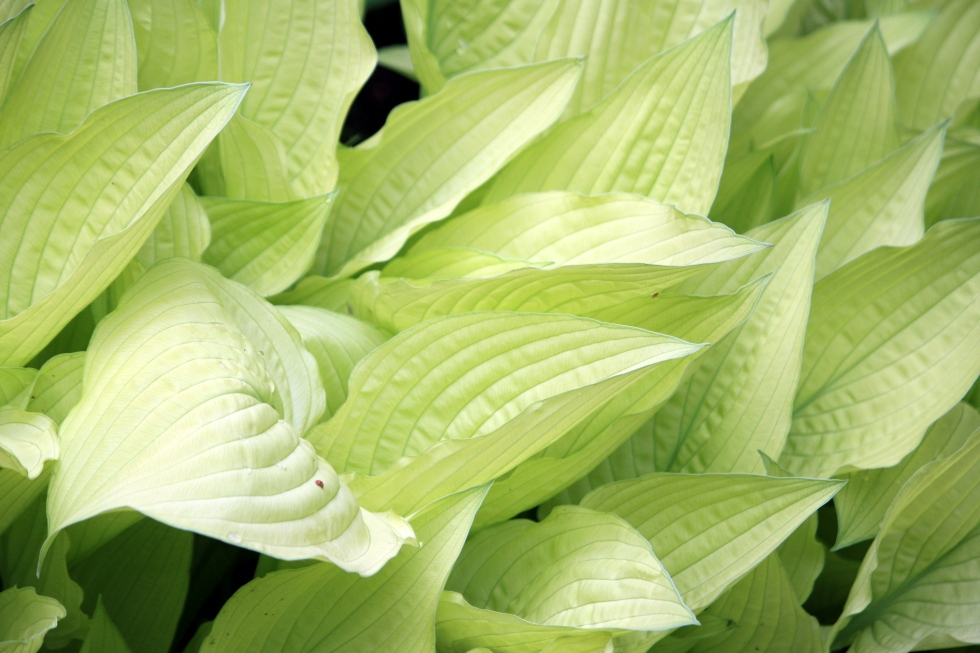 Hosta 'White Feather', Longstock Park Water Gardens, May 2013