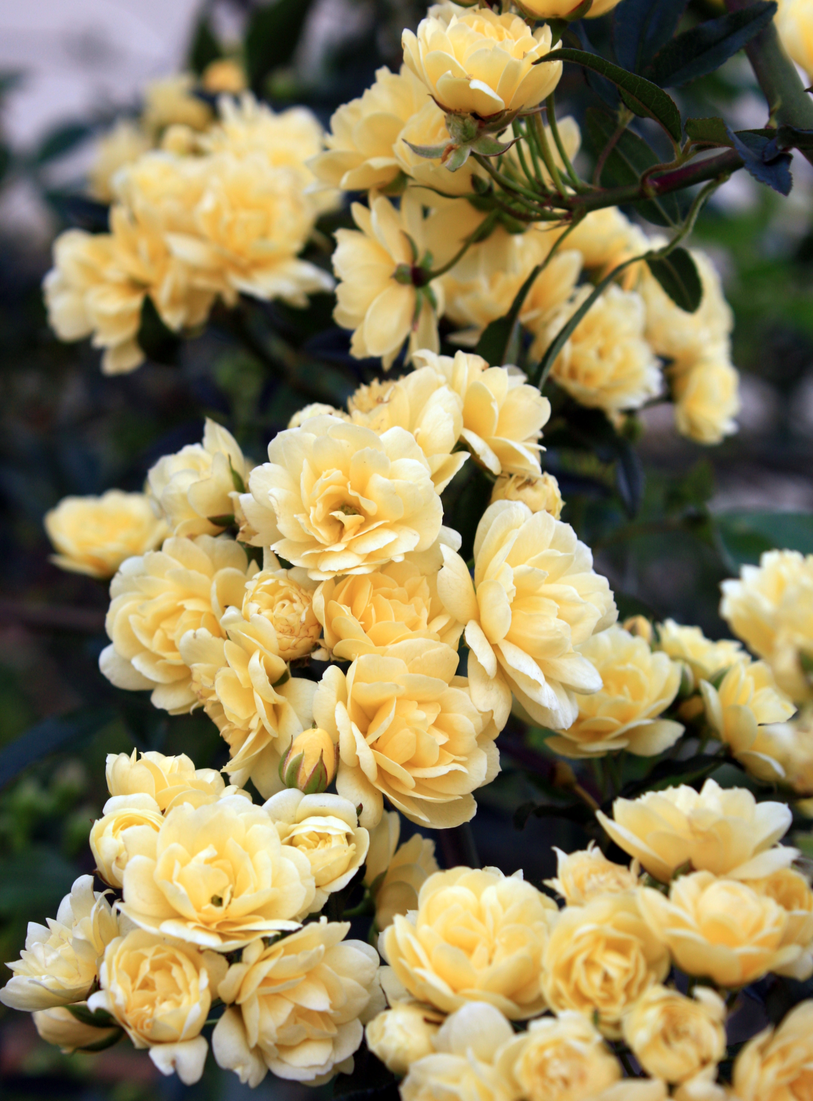 Daily Flower Candy: Rosa banksiae \'Lutea\' – The Frustrated Gardener