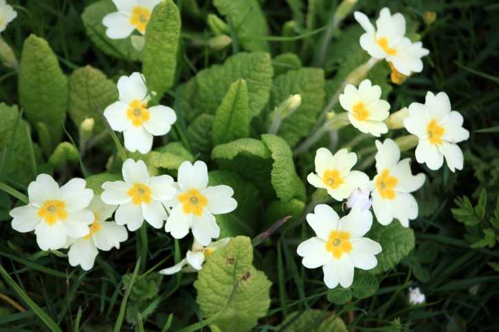 Primroses at Saltwood Castle, Kent, May 2013
