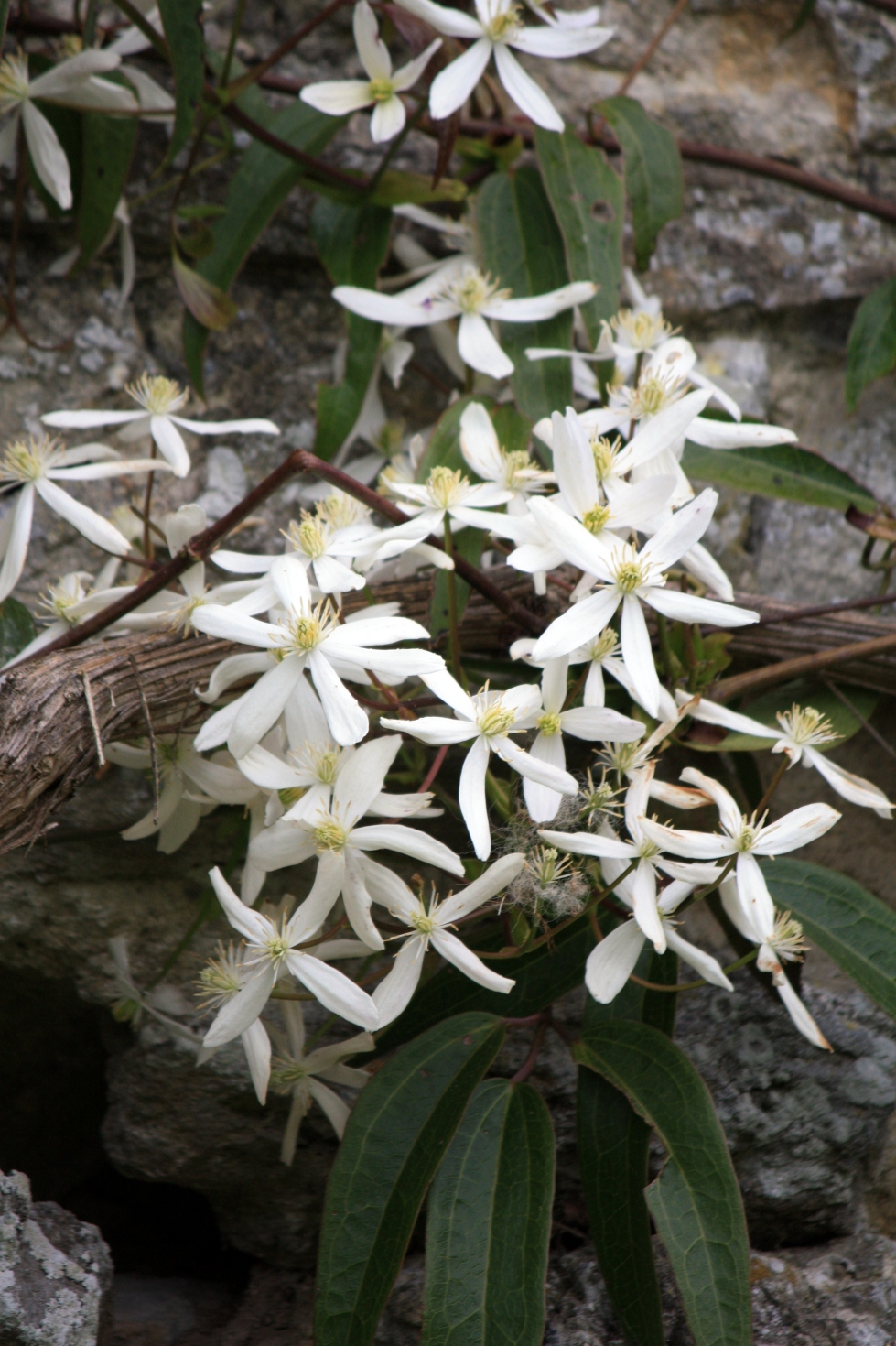 Clematis armandii, Saltwood Castle, May 2013