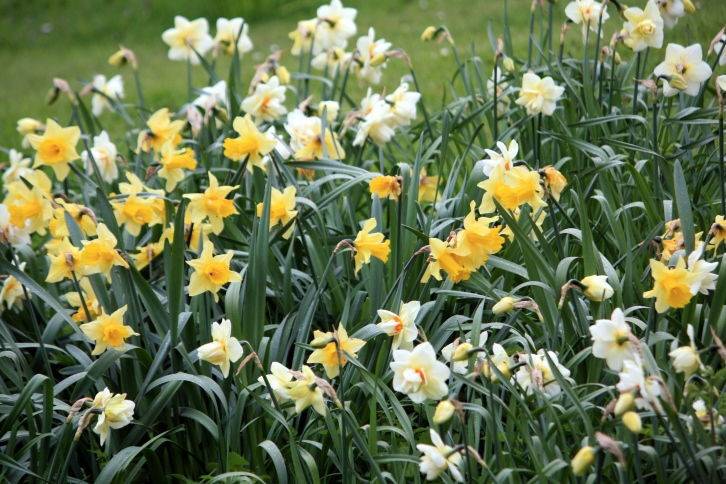 Daffodils near the moat, Saltwood Castle, Kent, May 2013