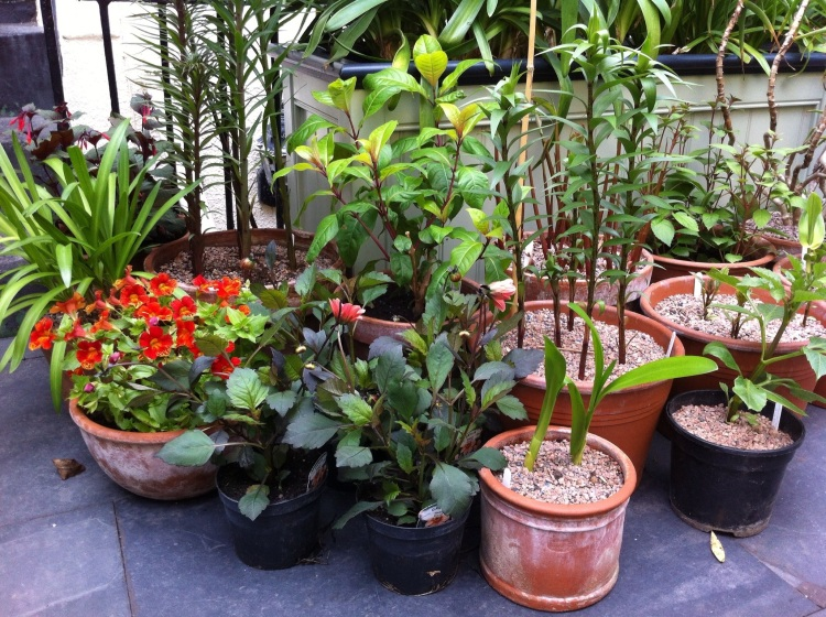 Pots planted for summer colour, June 2013