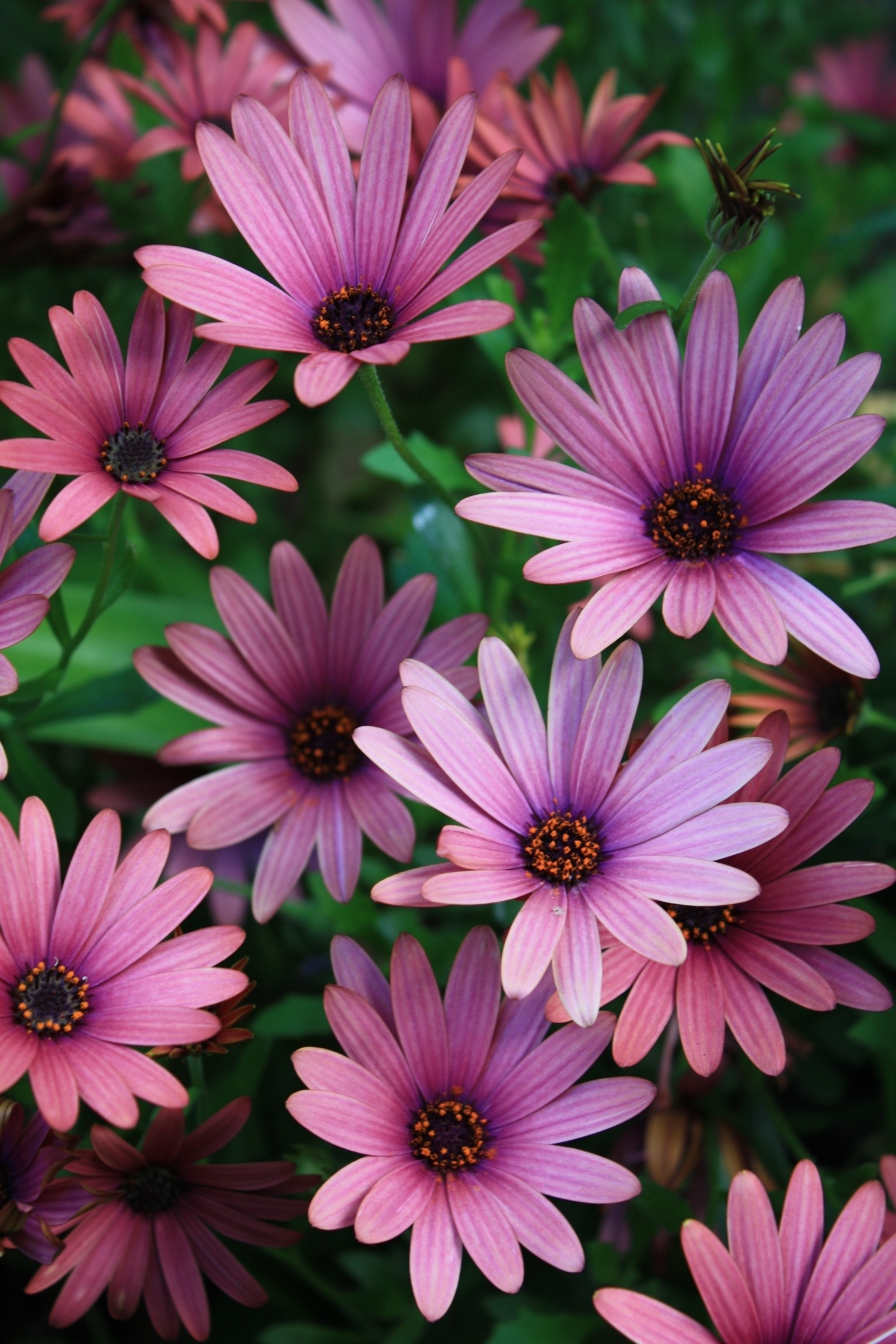 Daily flower candy osteospermum the frustrated gardener osteospermums like warmth and sun although they will tolerate poor soil salt winds and drought after a dry spell it may take a while for flowering to izmirmasajfo Choice Image