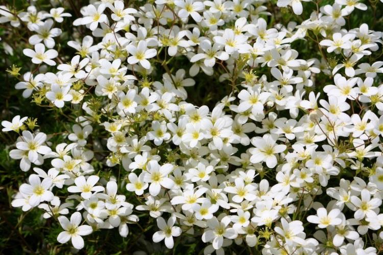 White Saxifrage, The Pines Garden, June 2013
