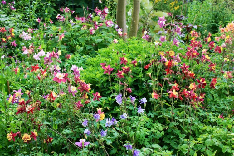 Aquliegias at Windy Ridge Gardens, Kent