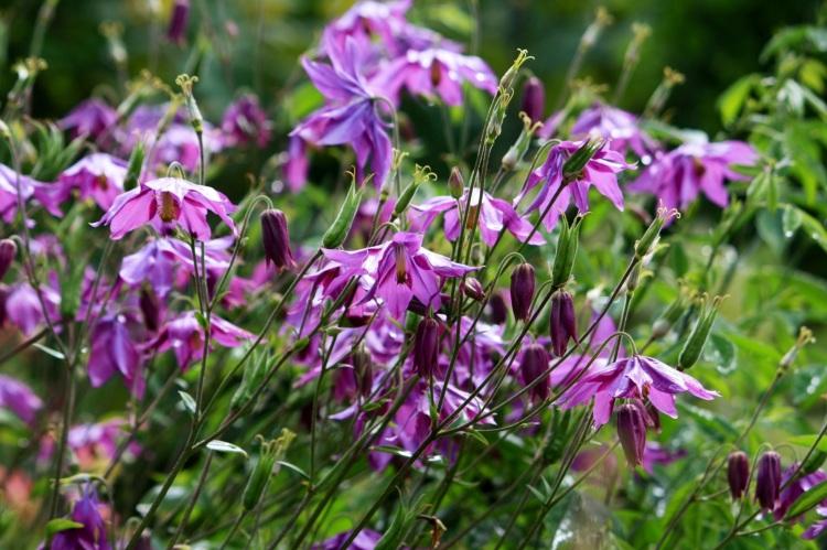 Purple Aquilegia, Windy Ridge gardens, Kent