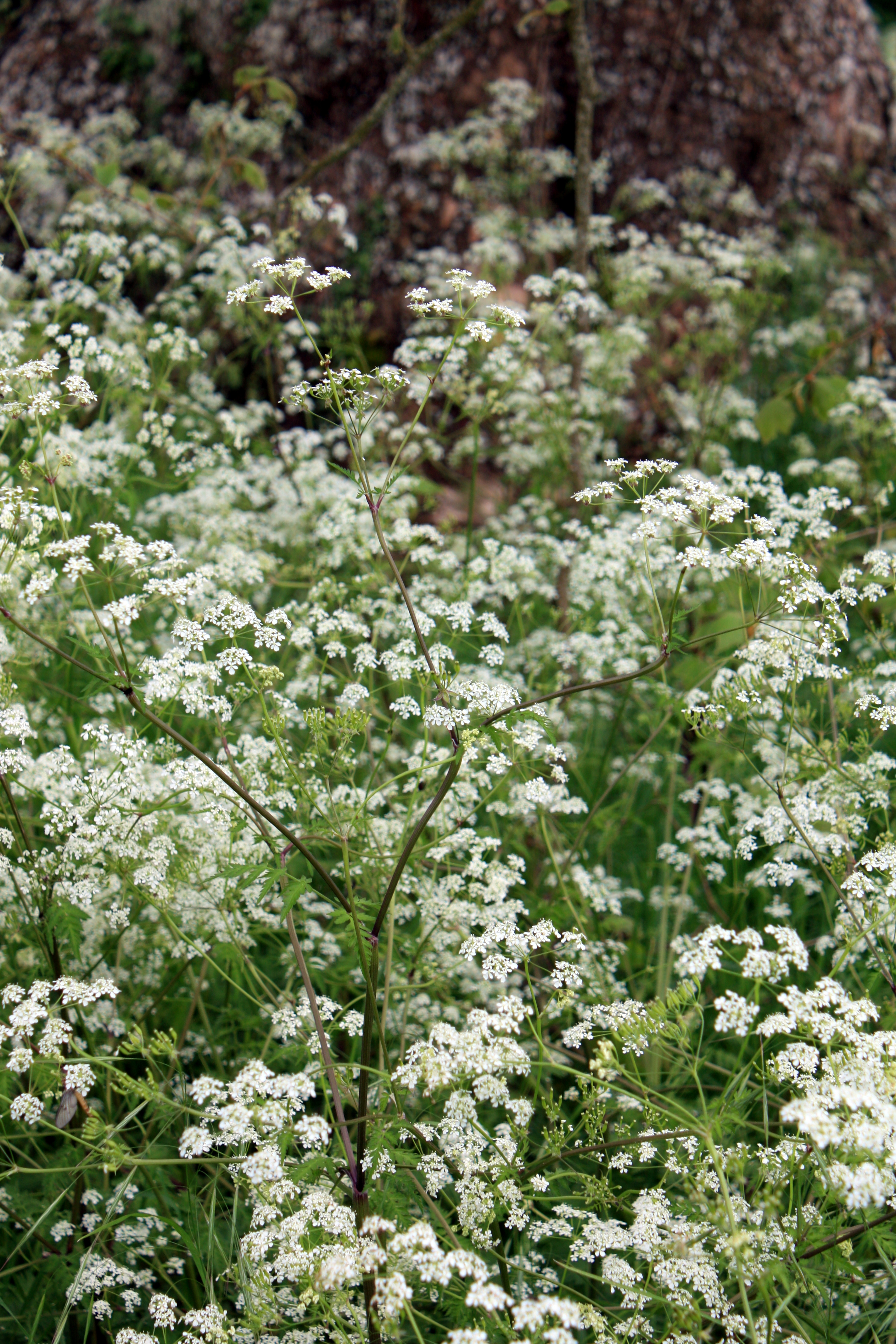 Cow Parsley, Houghton Lodge, Hampshire, May 2013