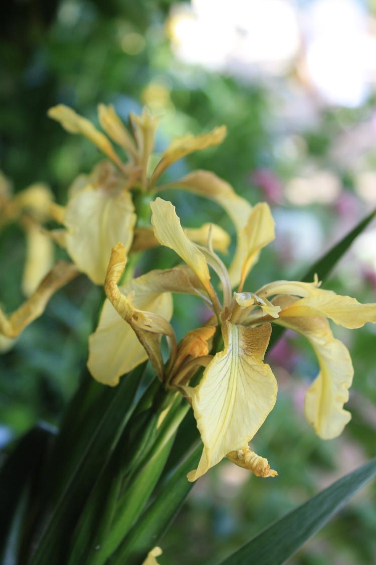 Iris foetidissima citrina at Whitstable Castle, Kent, June 2013