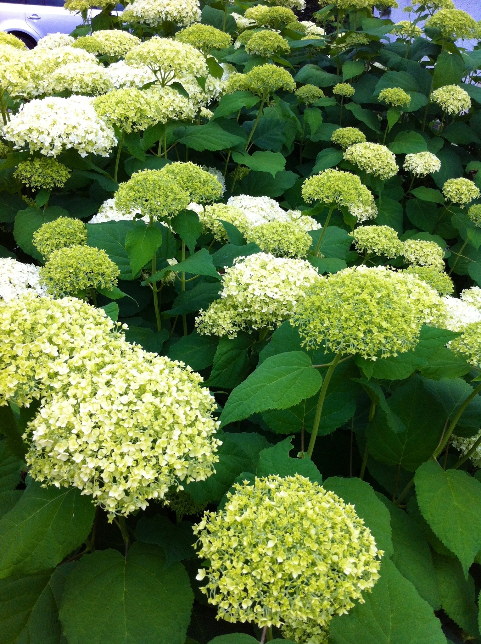 Daily Flower Candy Hydrangea Arborescens Annabelle