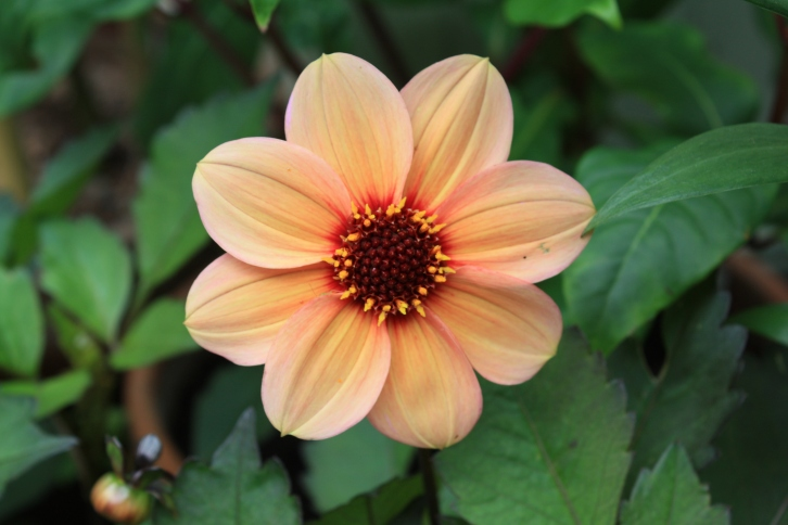 Dahlia 'Happy Kiss', July 2013