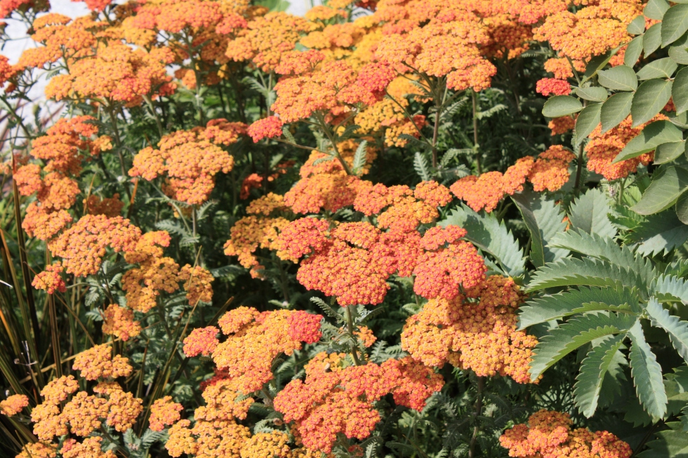 Achillea, Hampton Court 2013
