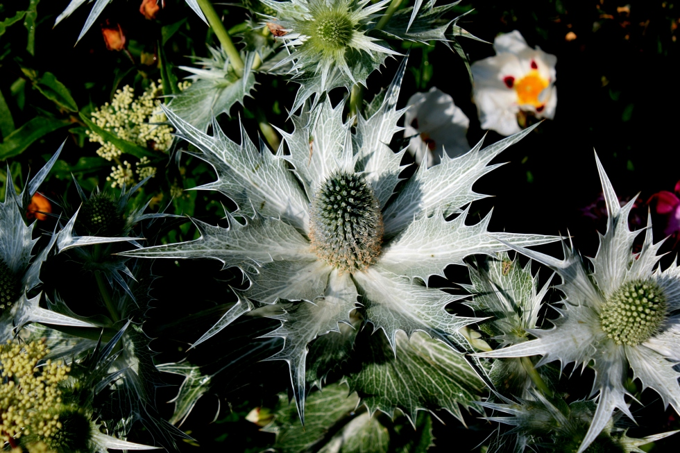Eryngium, The McCarthy and Stone Garden designed by Chris Beardshaw, Hampton Court 2013