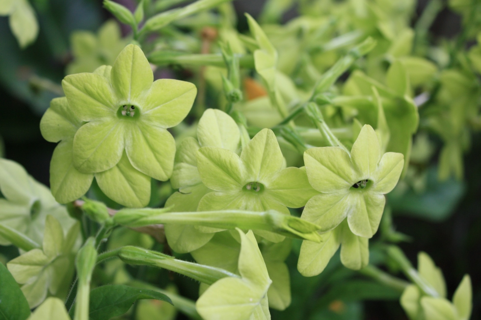 Nicotiana 'Lime Green', July 2013