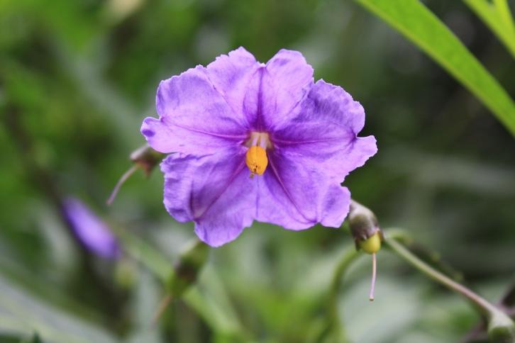 Solanum laciniatum, July 2013