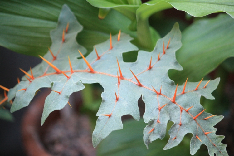 Solanum pyracanthum, July 2013
