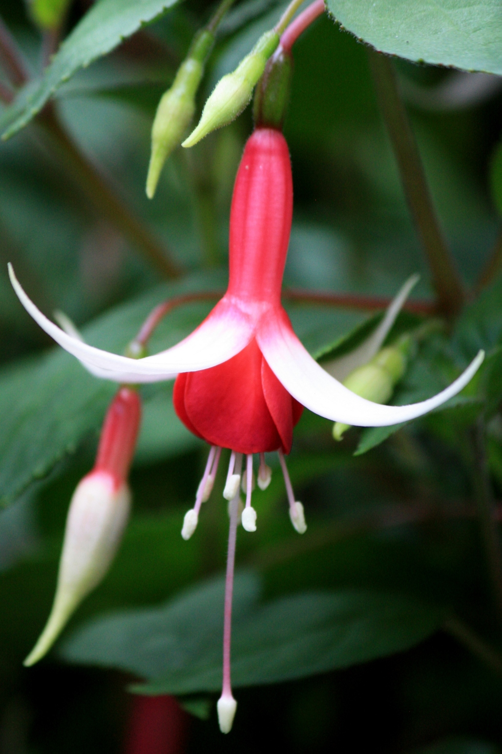 Fuchsia, July 2013