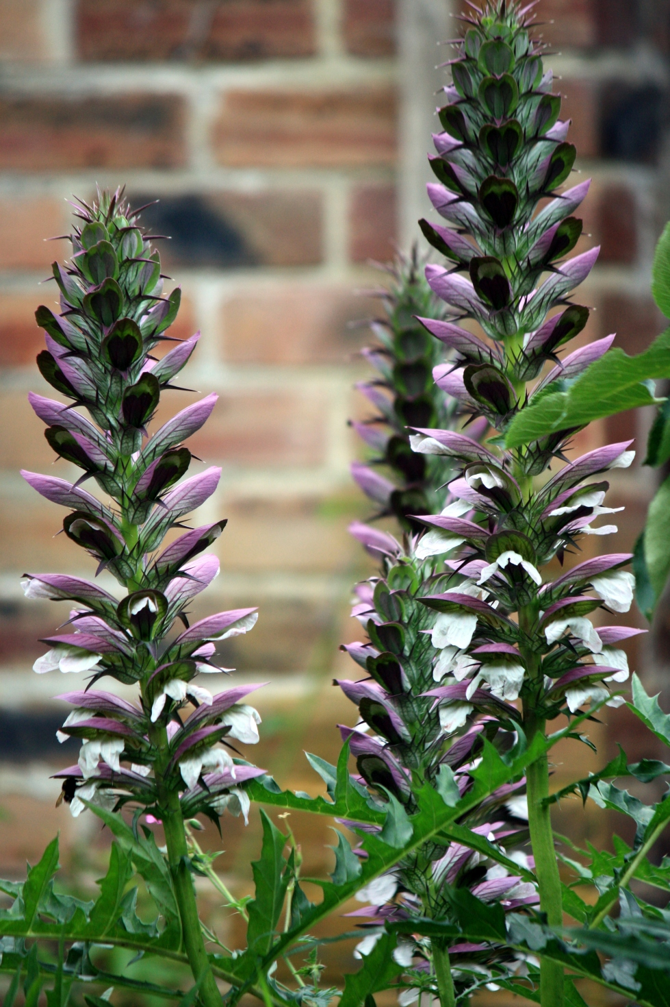 Acanthus spinosus, July 2013