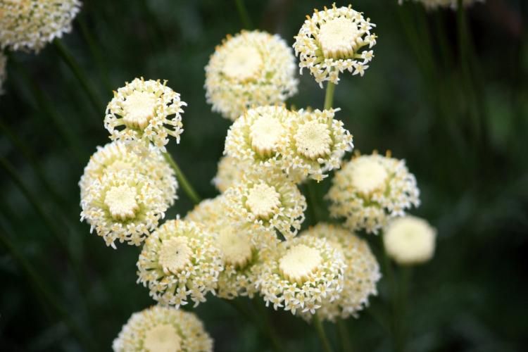Santolina flowers, Stonebridge Farm, July 2013