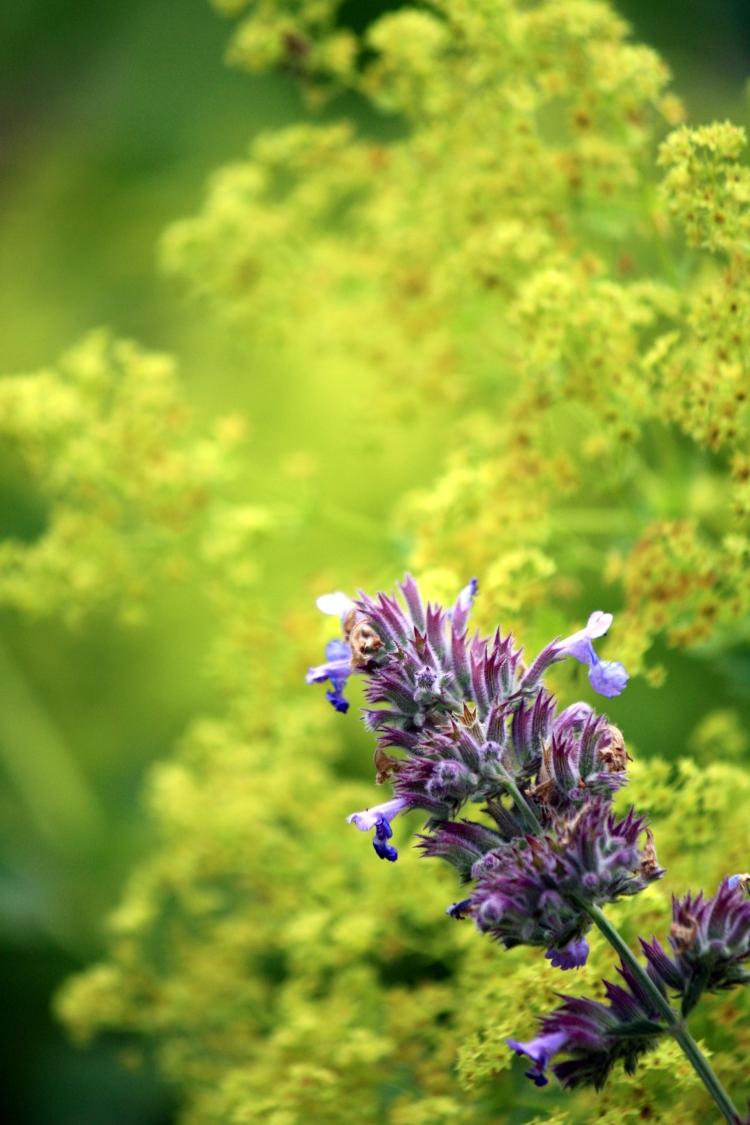 Lavender and Alchemilla, Stonebridge Farm, July 2013