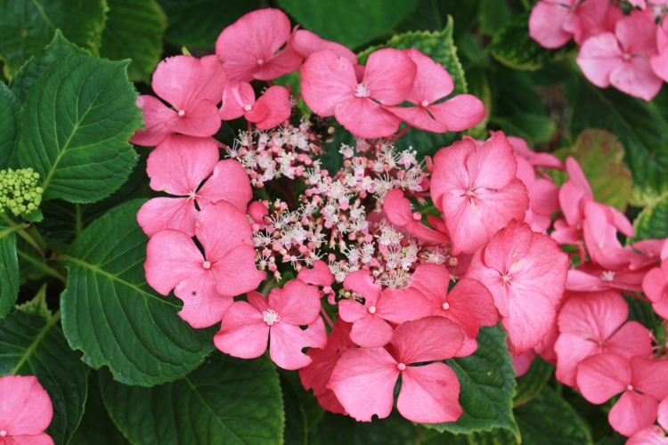 Hydrangea, 3 Stone Road, Broadstairs, Aug 2013