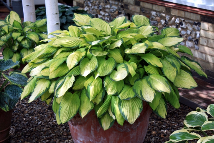 Hosta at 3 Stone Road, Broadstairs, Aug 2013