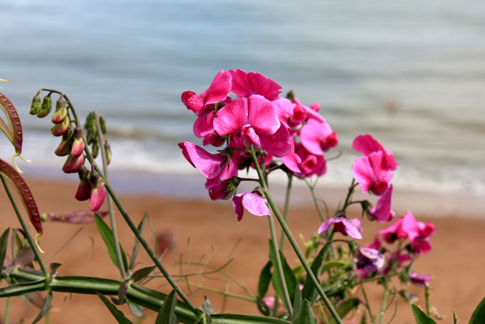 Lathyrus latifolius, Broadstairs, Aug 2013