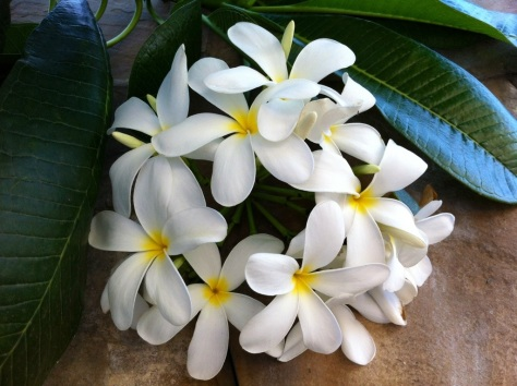 Frangipani (Plumeria sp.), The Trident, Gurgaon, India