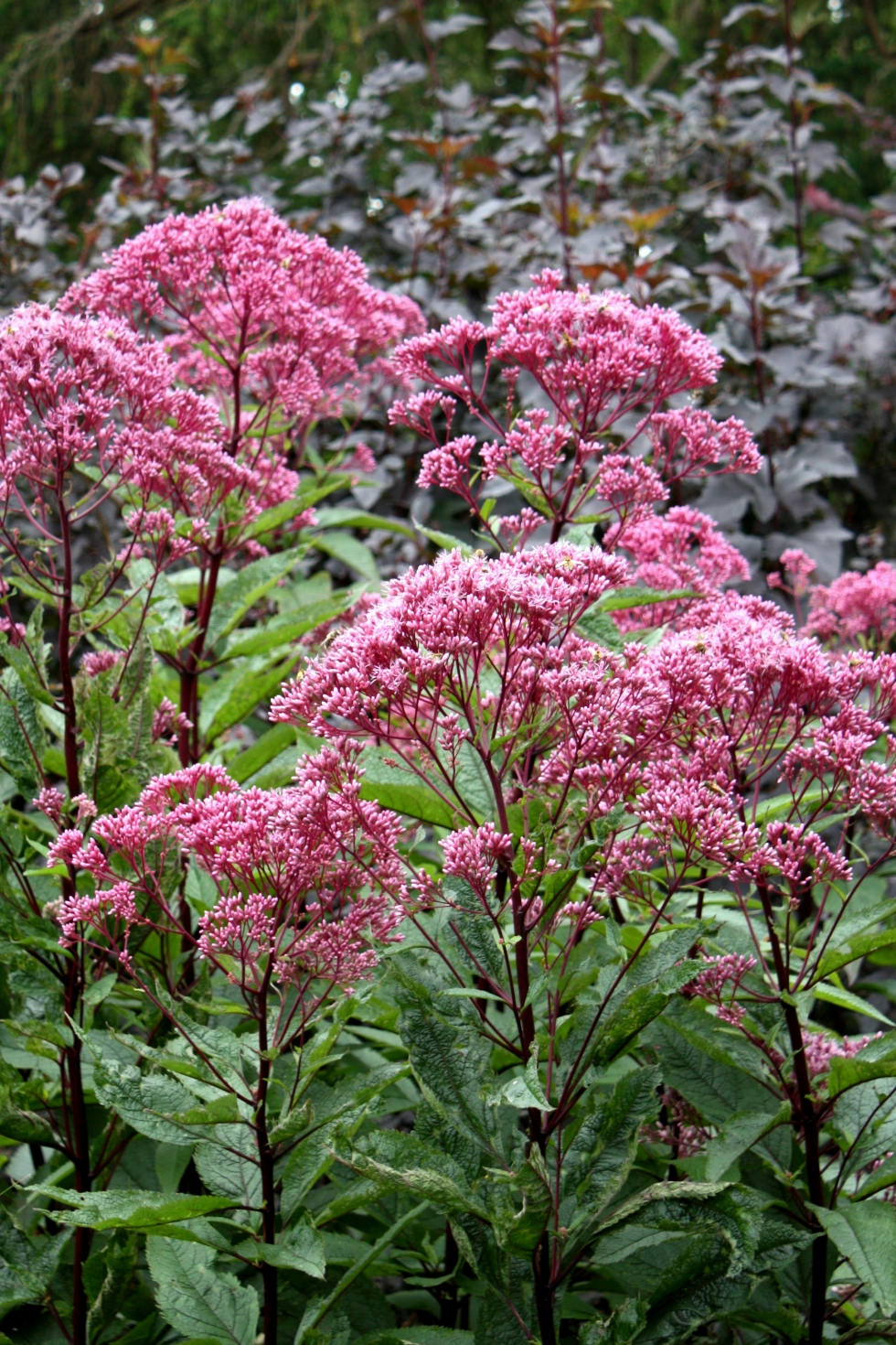 Eupatorium purpureum, Tintinhull, August 2012
