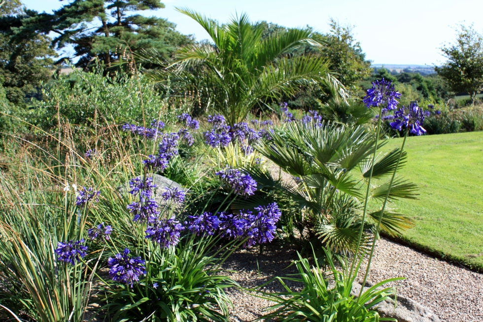 Agapanthus, Trenarth Gardens, Cornwall, August 2013