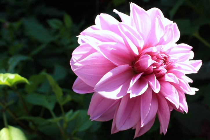 Dahlia 'Lilac Time', The Salutation, August 2013