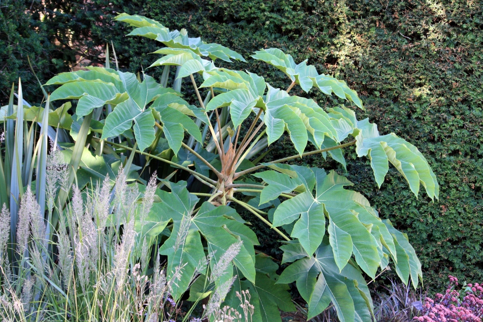 Tetrapanax papyrifer, The Salutation, August 2013