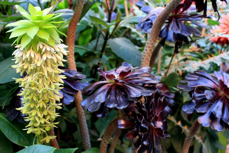 Eucomis bicolor and Aeonium Zwartkop, September 2013