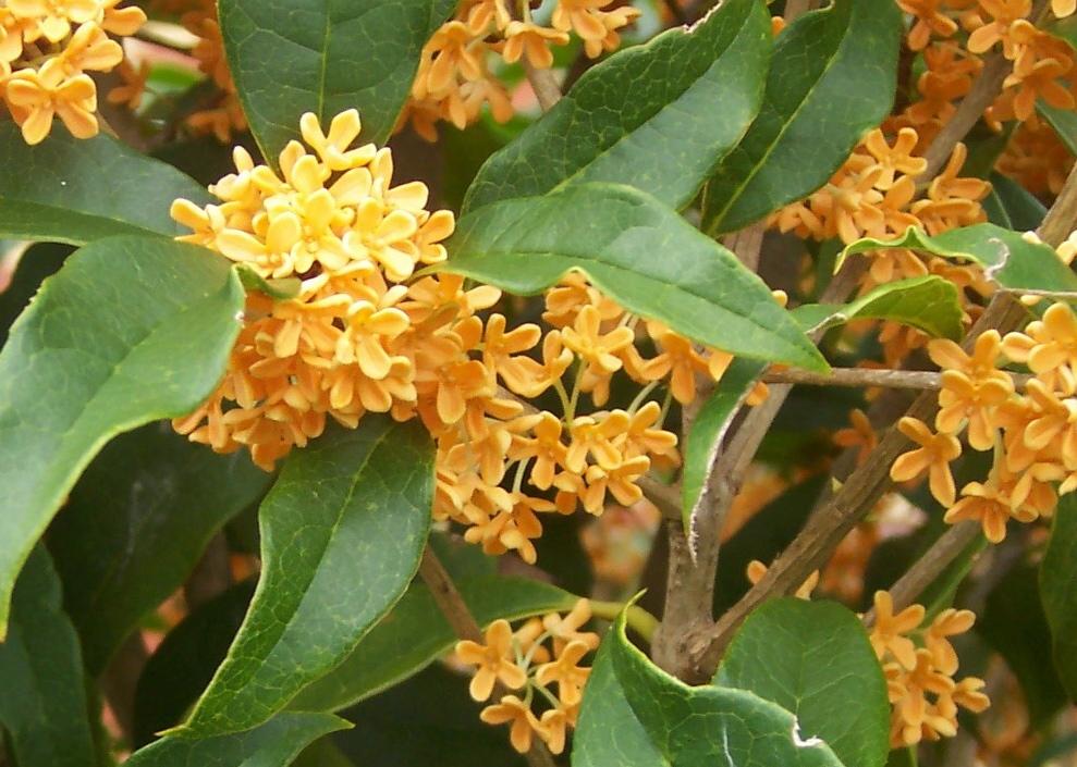 Plant portraits osmanthus fragrans gu 236 hu or sweet
