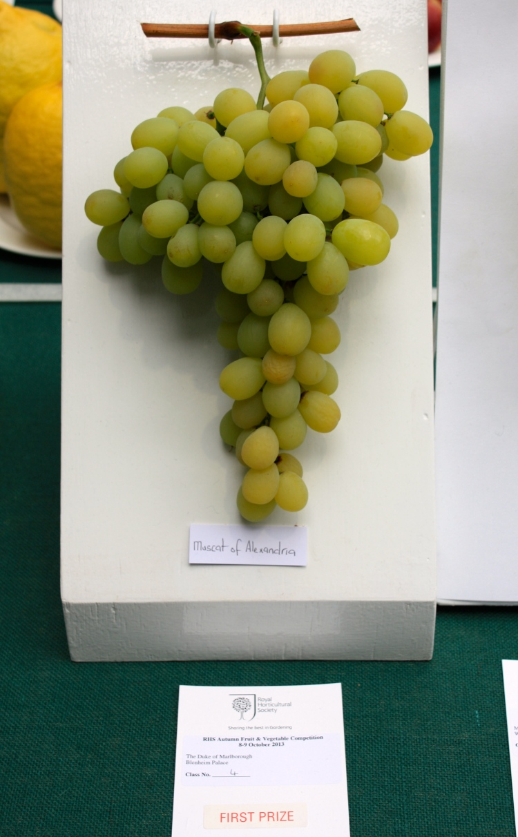 The Duke of Marlborough's prize winning grapes, RHS London Harvest Festival Show, 2013