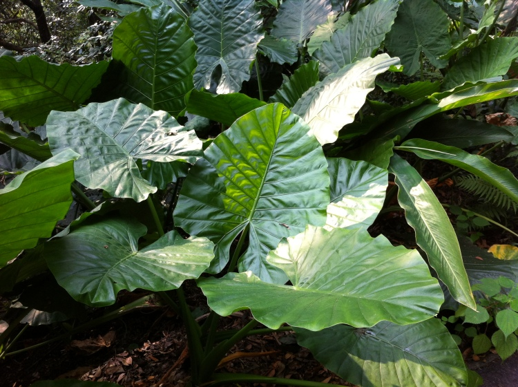 Elephant Ear Taro, Alocasia macrorrhiza, The Peak, Hong Kong, October 2013