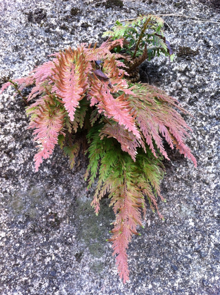 Red leaved fern, The Peak, Hong Kong, October 2013