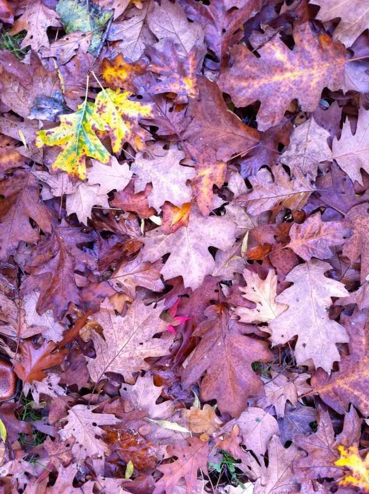 Fallen oak leaves, October 2013