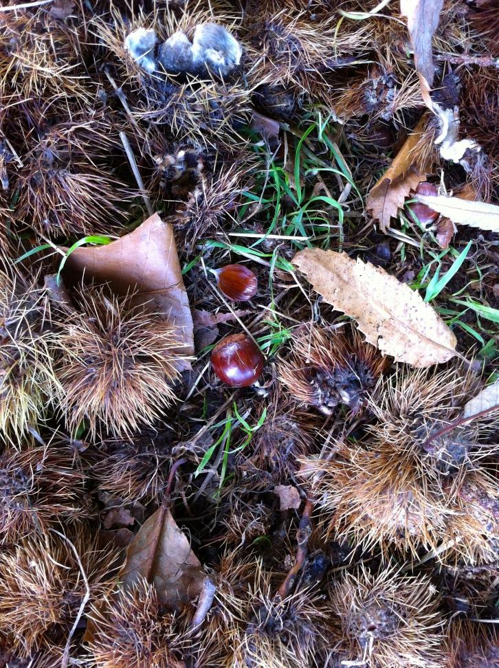 Fallen sweet chestnuts, October 2013