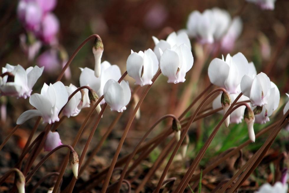 Cyclamen hederifolium 'Album', Goodnestone Park, Sept 2013