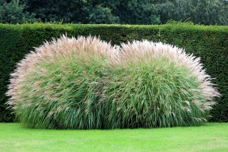 Grasses on the terrace, Goodnestone Park, Sept 2013