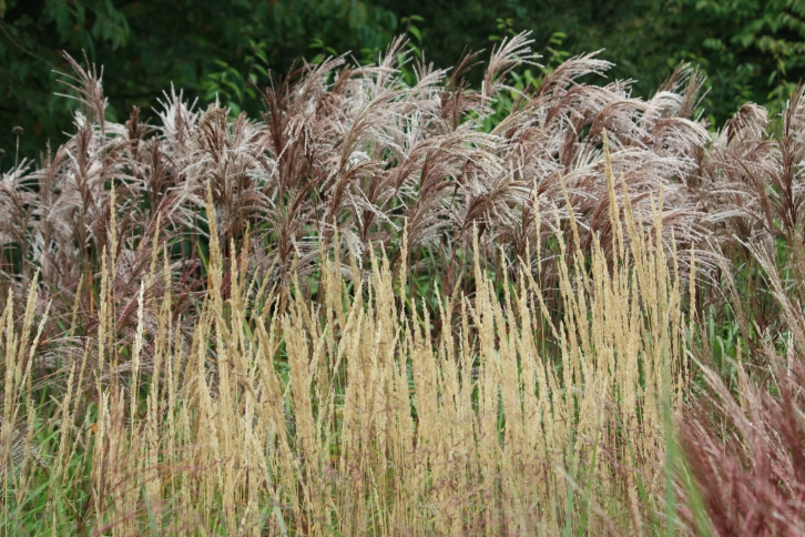Grasses, Goodnestone Park, Sept 2013