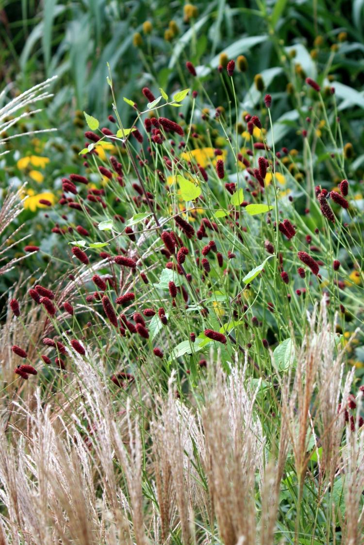 Sanguisorba in the Gravel Garden, Goodnestone Park, Sept 2013