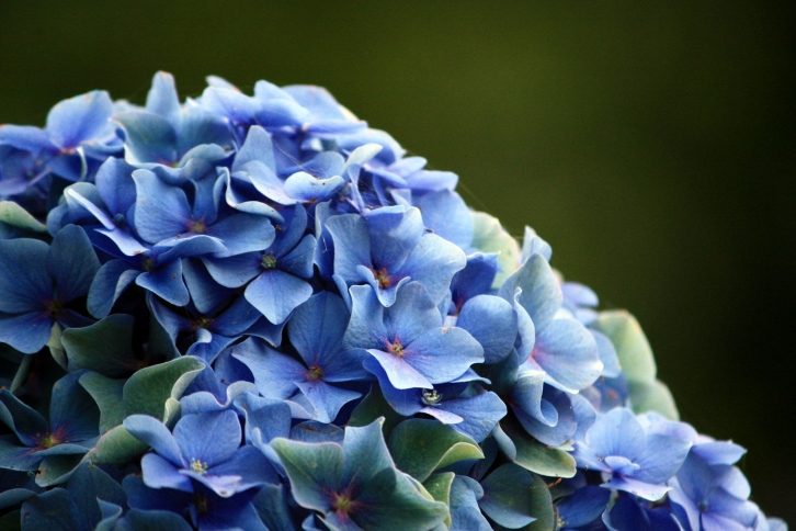 Tuinieren's September issue focusses on hydrangeas, known as hortensias in The Netherlands