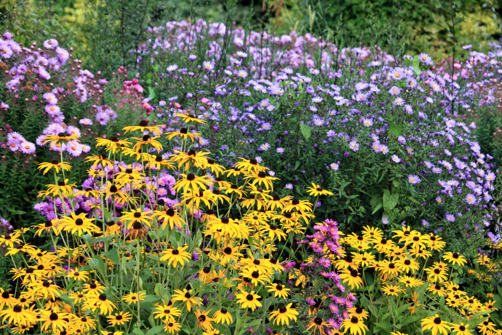 Rudbeckia and Michaelmas daisies, Goodnestone Park, Sept 2013