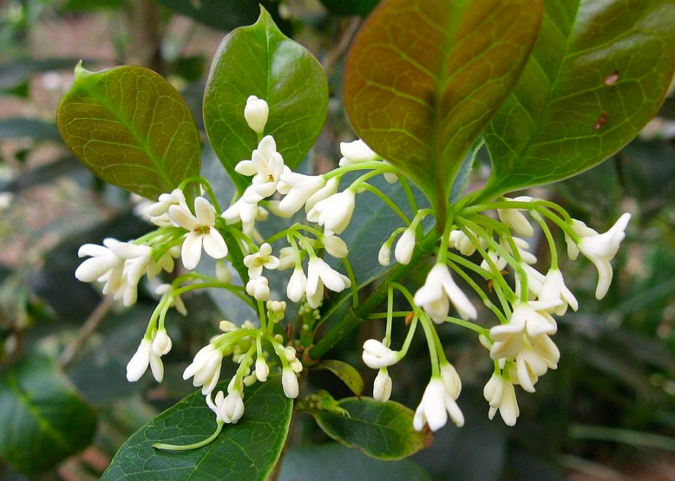 Osmanthus fragrans, October 2013