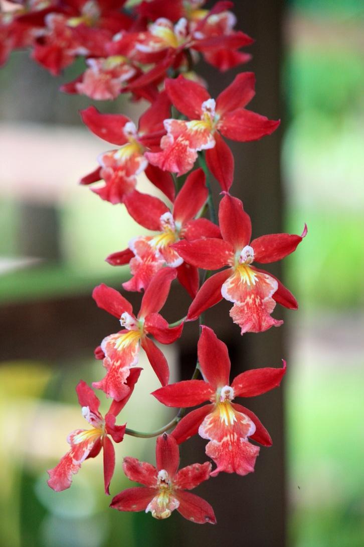 Orchid, National Kandawgyi Gardens, Pyin Oo Lwin, Burma, October 2012